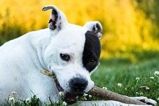 American Staffordshire Terrier Les Regles A Connaitre Avant De L Adopter